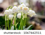 Leucojum Vernum Flowers  Early...