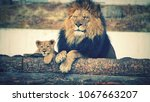lions in the zoo | Shutterstock . vector #1067663207