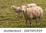 Small photo of Ewe baaing with lambs
