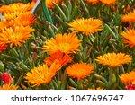 lampranthus aureus flower in... | Shutterstock . vector #1067696747
