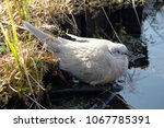Small photo of A juvenile of Eurasian collared dove (Streptopelia decaocto) with early collar development sitting by the water source. Poland, Europe