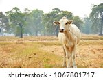 curious cow eating grass at the ... | Shutterstock . vector #1067801717