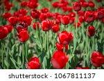 field of tulips | Shutterstock . vector #1067811137