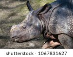 A Young Indian Rhinoceros...