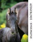 frisian horse foal | Shutterstock . vector #1067835029
