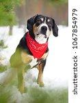 entlebucher mountain dog... | Shutterstock . vector #1067854979