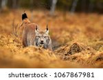 lynx in autumn forest. wildlife ... | Shutterstock . vector #1067867981