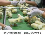 baby chickens just born on tray ... | Shutterstock . vector #1067909951