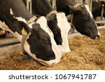 dairy cow. black and white cows ... | Shutterstock . vector #1067941787