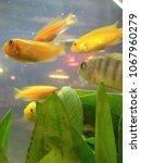 goldfish in small aquarium with ...   Shutterstock . vector #1067960279