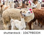 a white llama and its foal... | Shutterstock . vector #1067980334