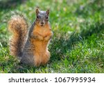 Fox Squirrel In A Suburban Yar...