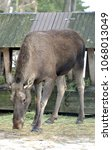 Small photo of Elk, Alces alces, largest extant species in deer family in spring