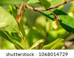 polyalthia suberosa   flowers...   Shutterstock . vector #1068014729