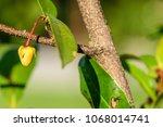 polyalthia suberosa   flowers...   Shutterstock . vector #1068014741