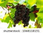 Grape Yard And Bunches Of The...