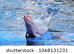 pink dolphin showing on the... | Shutterstock . vector #1068131231