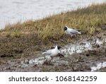 Black Headed Gulls  Resting In...