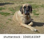 purebred english mastiff dog... | Shutterstock . vector #1068161069