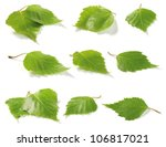 Green Birch Tree Leaves....