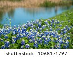 bluebonnets along waterside... | Shutterstock . vector #1068171797