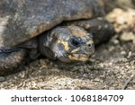 closeup of a red footed... | Shutterstock . vector #1068184709