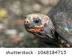 closeup of a red footed... | Shutterstock . vector #1068184715