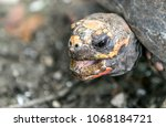 closeup of a red footed... | Shutterstock . vector #1068184721
