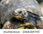 portrait of a red footed... | Shutterstock . vector #1068184745