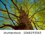 view up a beech tree as the... | Shutterstock . vector #1068193565