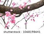sakura flowers on trees...   Shutterstock . vector #1068198641