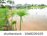 close up of papyrus  an aquatic ...   Shutterstock . vector #1068230105