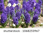 hyacinth and narcissus ...   Shutterstock . vector #1068253967