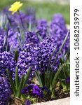 hyacinth and narcissus ... | Shutterstock . vector #1068253979