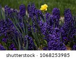 hyacinth and narcissus ... | Shutterstock . vector #1068253985