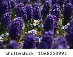 hyacinth and narcissus ...   Shutterstock . vector #1068253991