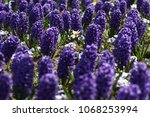 hyacinth and narcissus ...   Shutterstock . vector #1068253994