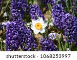 hyacinth and narcissus ...   Shutterstock . vector #1068253997