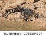 an australian saltwater...   Shutterstock . vector #1068254327