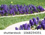 hyacinth. field of colorful... | Shutterstock . vector #1068254351