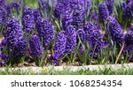 hyacinth. field of colorful...   Shutterstock . vector #1068254354