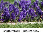 hyacinth. field of colorful...   Shutterstock . vector #1068254357