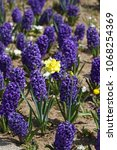 hyacinth. field of colorful... | Shutterstock . vector #1068254369