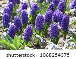 hyacinth. field of colorful... | Shutterstock . vector #1068254375