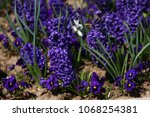 hyacinth. field of colorful... | Shutterstock . vector #1068254381