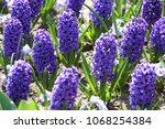 hyacinth. field of colorful...   Shutterstock . vector #1068254384