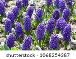 hyacinth. field of colorful...   Shutterstock . vector #1068254387