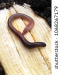 Small photo of rain worm on earth