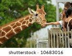 Zoo Visitors Feeding A Giraffe...