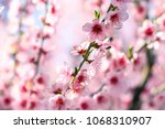 the blossoming peach garden in... | Shutterstock . vector #1068310907